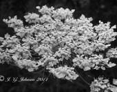 Queen Anne's Lace - 5x7 Original Fine Art Photograph - Black and White