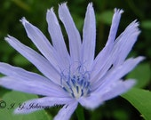 Chicory - 5x7 Original Fine Art Photograph