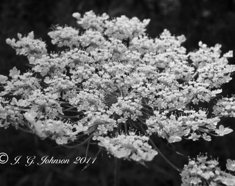 Queen Anne's Lace - 5x7 Original Fine Art Photograph - Black and White