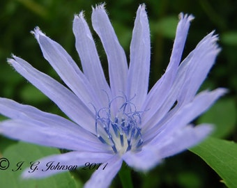 Chicory - 5x7 Original Fine Art Photograph