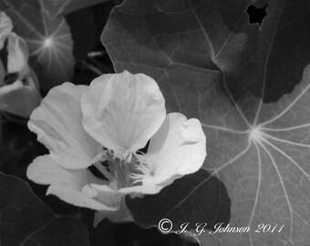 Nasturtium - 5x7 Original Fine Art Photograph - Black and White