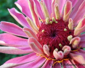 Pink Zinnia - 8x10 Original Fine Art Photograph