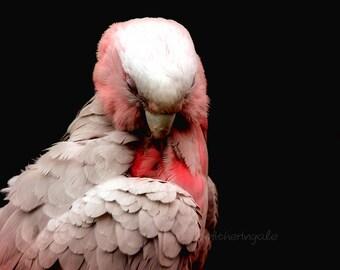 Galah - Preening in Pink - Unmatted Print
