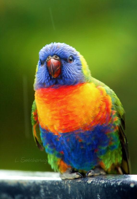 Rainbow Lorikeet - Raindrops Keep Falling on My Head - Unmatted Print