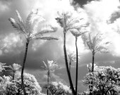 Swaying Hawaiian Palm Trees - 8x12 Fine Art Infrared Photograph