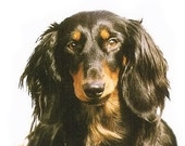 DACHSHUND Black and Tan Longhair DOG on 6 inch Fabric Squares for Quilting and Sewing