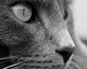 Black and white cat art photography - Stare - black and white grey cat close up art photograph - cat eye and whiskers