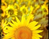 Sunflower photography yellow field Paris flowers fine art photograph French wall art home decor rustic print