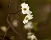 Dogwood photo, tree photography bathroom decor pale flower cream white nougat fine art flower photography - Thoughts Of You - 8x8