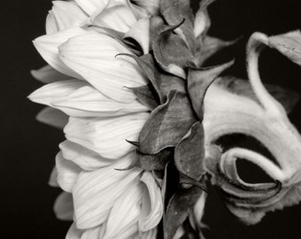 Sunflower black white photography monochrome photograph fine art nature photography - 8x12