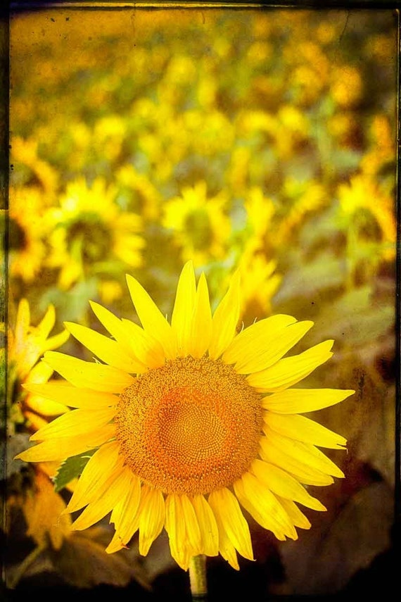 Sunflower photography kitchen art yellow field Paris flowers fine art photograph French wall art home decor rustic print sunflower decor