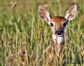 A fawn in the pasture, wildlife, Original Fine Art Photography