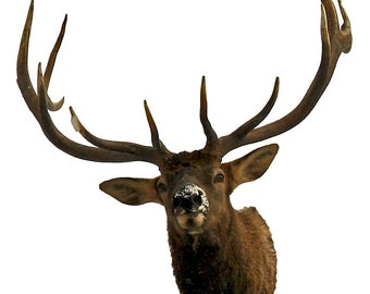 6 point Trophy Elk, bragging rights, more affordable than most mounted elk heads, a photographic taxidermist,  Fine Art Photography