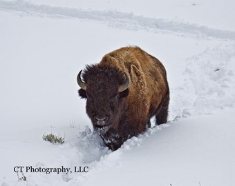 Bison in Winter, Yellowstone National Park, Original Fine Art Photography