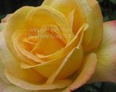 Yellow Rose - Fine Art Print