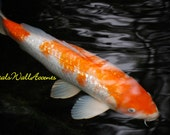 Original Nature Digital Photograph White and Orange Gosanke Kohaku Koi Fish Signed Fine Art YART -Young Artist-