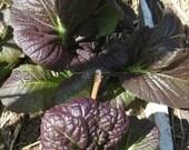 Organic Purple Mustard Green Seeds