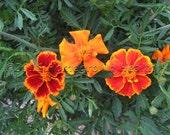 Organic Red Marietta Marigold Seeds