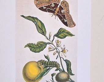 Vintage print of a caterpillar and butterfly on a fruit tree book plate