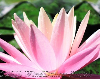 Luminescent Lily - Fine Art Photo - 16 x 20 Matted Photo - Flower Photo - Water Lily - Gift for Her - Pinks - Home Decor - Spa Decor