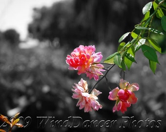 Wild Rose - 8 x 12 Fine Art Flower Photograph - Flower Photo - Pink Rose - Summer - Selective Color - Gift For Her - Home Decor, Wall Art