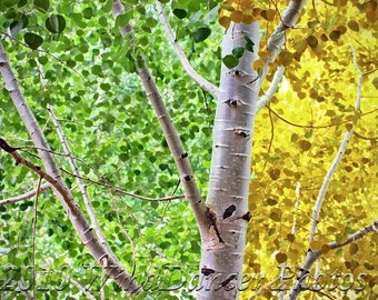 Aspen Transformations - Fine Art Tree Photograph - Earth's Trees - Aspen Tree - Golds - Greens - Home Decor - Office Decor