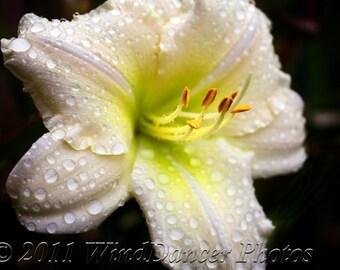 Soft Rain - 8 x 10 Fine Art Day Lily Photo - Flower Photo - Day Lily - White - Raindrops - Home Decor