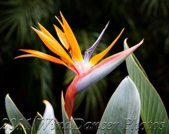 Perfect Paradise - 8 x 10 Fine Art Photograph - Tropical - Flower Photo - Bird of Paradise - Home Decor - Office Decor