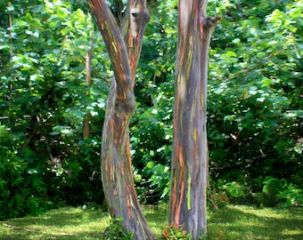 Road to Hana - Rainbow Eucalyptus Trees - Maui - Hawaii - Tree Photo -  Home Decor - Office Decor - Hawaii Gift