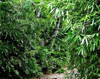 Bamboo Trail - 12 x 16 Fine Art Photograph - Hawaii - Bamboo Photo - Bambooo - Hawaii Photo - Zen - Home Decor