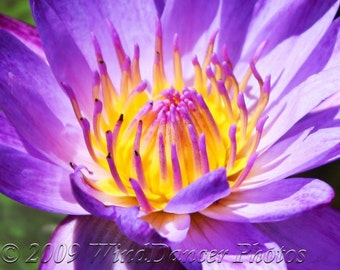 Cradling the Sun  -  Water Lily -  Fine Art Photo - Flower- 11x14 Matted Photo - Purples - Water Lily Photo - Home Decor - Spa Decor