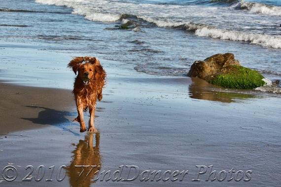 Boundless Joy -  8 x 12 Fine Art Dog Photo - Dog Running on Beach - Pets - Dog Photo - Irish Setter - Gift Idea
