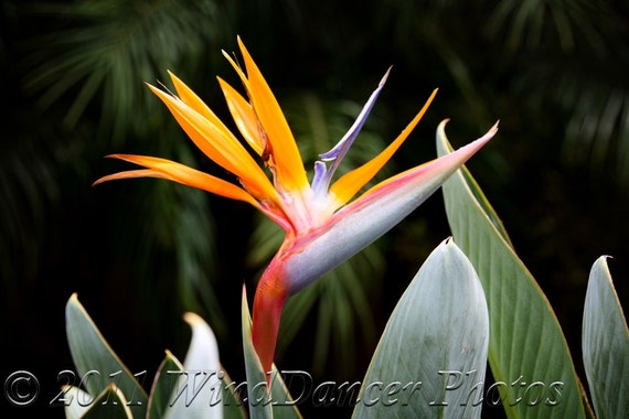 Perfect Paradise - 8 x 10 Fine Art Photograph - Tropical - Flower Photo - Bird of Paradise - Home Decor - Office Decor