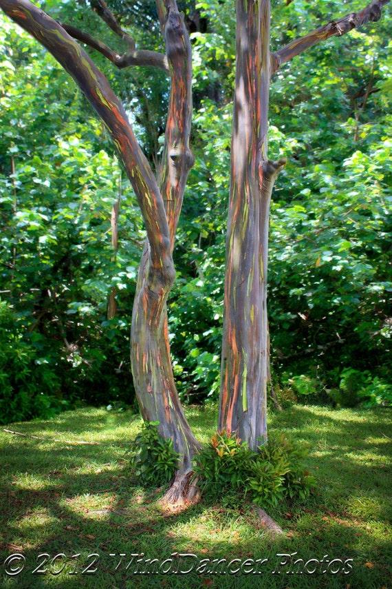 Road To Hana Rainbow Eucalyptus Trees Maui Hawaii Tree