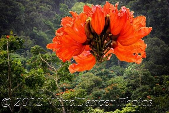 Road to Hana - African Tulip Trees - Maui - Hawaii - Tropical Flower - Home Decor -  Hawaii Photo