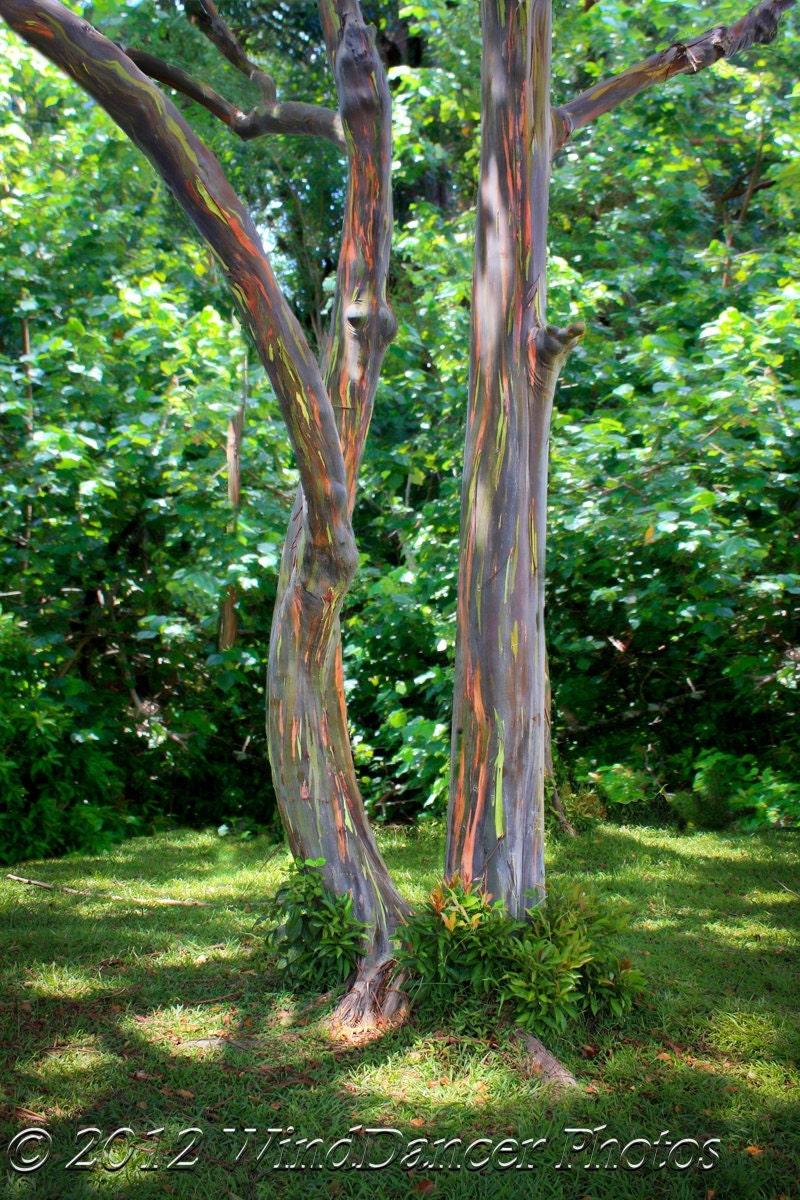 road to hana rainbow eucalyptus trees maui hawaii tree. Black Bedroom Furniture Sets. Home Design Ideas