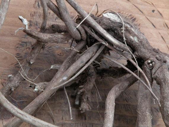 Devils Shoestring . Large Whole Root