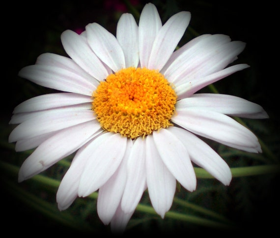 What Is The Flower For April: Items Similar To Single Daisy / Blank Folded Greeting Card