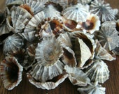 Natural Opihi tiny-small Shell, LOT 100