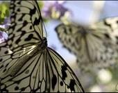 Callaway Butterfly Beauty - 8x12 PRINT