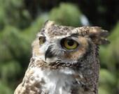 Great Horned Owl -- 8x12 Fine Art Photograph