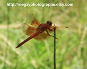 Desert Dragonfly - a 5 x 7 matte Photgraphic Print by MegzyPhotographs