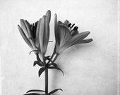 Black and White Flower Photograph, Lily, Fine Art Photography Print , Monochromic, Minimalist, No. 7719