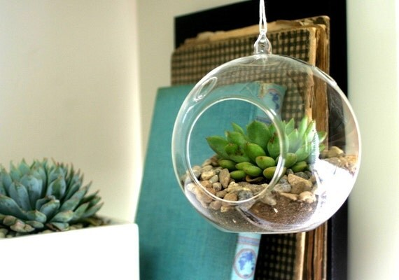 Hens and Chicks Hens and Chicks Echeveria Succulent Hanging Terrarium in Glass Globe - Kit
