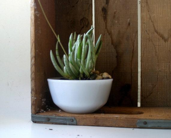 Silver Coral Senecio Scaposus Succulent in Vintage Fireking Bowl