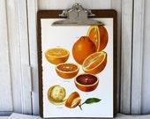Vintage Book Page - Vintage Illustrations - 1965-  Oranges - For Framing, Decoupage, Mixed Media, Assemblage, Collage
