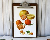Vintage Book Page - Vintage Illustrations - 1965-  Grapefruit, Kumquat, Tangerine, Clementine - For Framing, Decoupage, Mixed Media, Assemblage, Collage