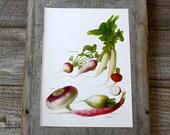 Vintage Print  - Radishes, Turnips - Book Plate  - 1965