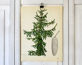 Botanical Print  - Weeping Norway Spruce - Shrub and Tree Studies