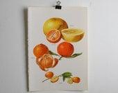 Vintage Print  - Grapefruit, Clementine, Tangerine, Kumquat  - Book Plate  - 1965